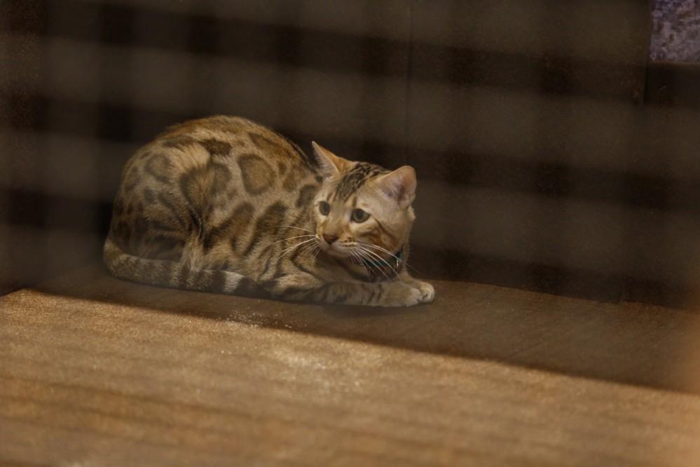 แมวเบงกอล